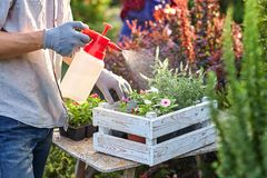 Садовник Гай в перчатках сада распыляет воду на баках с саженцами в белой деревянной коробке на таблице в стоковая фотография