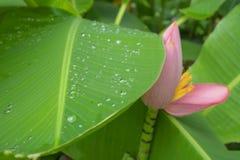 Свежая картина лист venation зеленого цвета pinnately параллельная с капельками воды, розовыми лепестками цветя зацветать банана стоковое фото