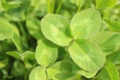 Свежая солнечная естественная предпосылка с яркими ыми-зелен листьями клевера подсвеченными по солнцу стоковые изображения