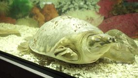 Свинь-обнюханная черепаха спит в аквариуме Закройте вверх по съемке видеоматериал
