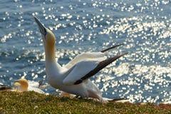 Северные gannets на утесе стоковые изображения
