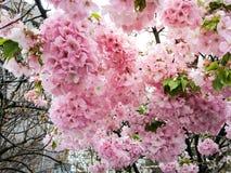 Сезон Сакуры в Осака, Японии стоковое изображение