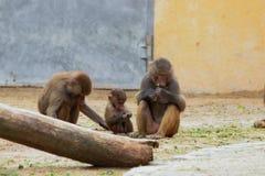 Семья обезьяны есть в зоопарке в Аугсбурге в Германии стоковое фото rf