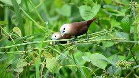 Седоволасый maja Munia - Loncura, эти птицы обычно живет в полях риса и любит съесть рис сток-видео
