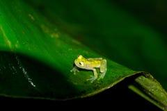 Сетчатая стеклянная лягушка стоковое фото rf