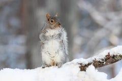 Серая белка в снеге зимы стоковое изображение