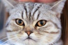 Сердитый портрет великобританского кота Shorthair кот смотрит и ждет стоковое фото