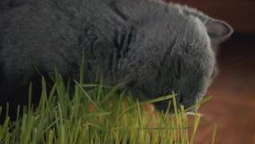 Серый великобританский кот есть свежую зеленую траву Трава кота в баке естественная обработка для hairball акции видеоматериалы