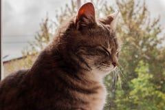 Серый кот tabby около окна стоковая фотография rf