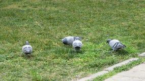 Серый цвет голубя Красивейший вихрун стоковое изображение