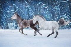 Серый ход лошади 2 стоковые изображения rf
