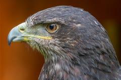 Серый орел канюка стоковые изображения