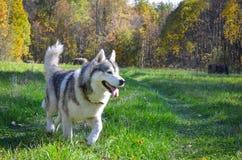 Сибирский хаски бежит в осеннем лесу Stock Photos
