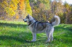 Сибирский хаски гуляет в осеннем лесу Stock Image