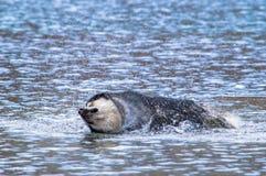 сибиряк собаки стоковое фото
