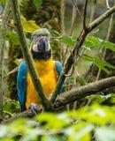 Сине-и-желтая ара, ararauna Ara большие южные - американский попугай стоковое изображение rf