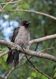 Сиротливая серая ворона в летнем дне стоковая фотография