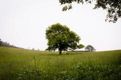 Сиротливый зеленый дуб в поле стоковая фотография rf
