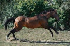 Скачки коричневой лошади спорта trakehner свободные на свободе летом стоковые изображения