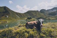 Скотины в горах стоковые фото