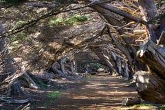 След через macrocarpa кипариса кипарисов Монтерей, Калифорния стоковые изображения rf