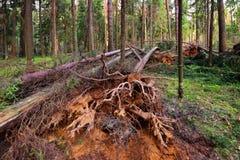 Сломленные деревья в лесе лета стоковая фотография