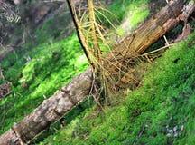 Сломленные деревья в лесе лета стоковое фото