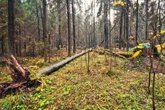 Сломленные деревья в лесе лета стоковая фотография rf