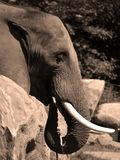 Слоны большие млекопитающие Elephantidae семьи стоковое изображение