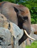 Слоны большие млекопитающие Elephantidae семьи стоковое фото