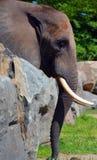 Слоны большие млекопитающие Elephantidae семьи стоковые фото