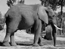 Слоны большие млекопитающие Elephantidae семьи стоковые изображения