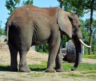 Слоны большие млекопитающие Elephantidae семьи стоковая фотография