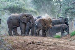 Слоны остановили в середине грязной улицы, наслаждаясь ванной пыли в национальном заповеднике Rimoi вышесказанного стоковые изображения