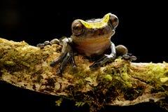 Смешное любопытное manonegra dendropsophus древесной лягушки небольшое treefrog стоковое фото