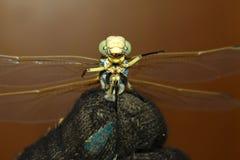 Смешной dragonfly как диктатор стоковые фотографии rf