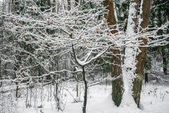 Спокойное утро overcast в ветвях снежного леса тонких молодых деревьев согнуто под обильным заволакиванием снега стоковые изображения rf