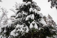 Спокойное утро overcast в ветвях снежного леса тонких молодых деревьев согнуто под обильным заволакиванием снега стоковая фотография rf