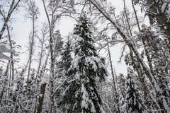 Спокойное утро overcast в ветвях снежного леса тонких молодых деревьев согнуто под обильным заволакиванием снега стоковая фотография