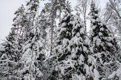 Спокойное утро overcast в ветвях снежного леса тонких молодых деревьев согнуто под обильным заволакиванием снега стоковое изображение