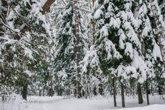 Спокойное утро overcast в ветвях снежного леса тонких молодых деревьев согнуто под обильным заволакиванием снега стоковые фото