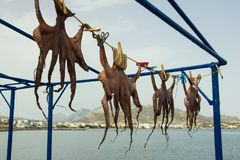 Сушат осьминогов в солнце стоковые фотографии rf