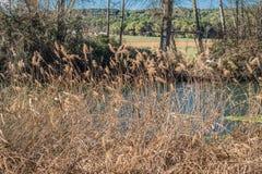 Сухие тростники в реке стоковые изображения rf