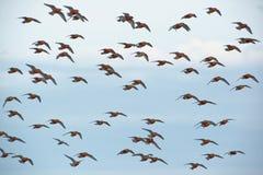 Стадо красного узла - canutus Calidris среднего размера shorebird стоковая фотография rf