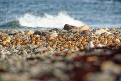Стадо красного узла - canutus Calidris среднего размера shorebird стоковые изображения