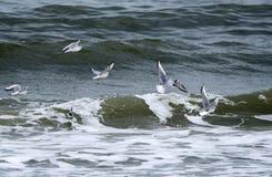 Стадо чаек Bonaparte скача над волнами Myrtle Beach стоковые изображения rf