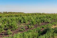 Строки малых ярких сосен на coniferous питомнике садовничают Растущие молодые хвои на под открытым небом садовничая плантации стоковое изображение