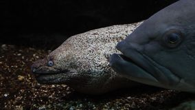 Сторона больших рыб и muray угря вытаращить - - сторона сток-видео