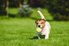 Счастливые бега и игры собаки с теннисным мячом на лужайке задворк стоковое изображение rf