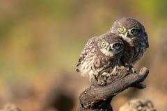 Сычи в естественной среде обитания 2 маленький сыч, noctua Athene, сидя на ручке стоковое изображение rf